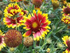 The 2 Minute Gardener: Photo - Gaillardia (Gaillardia x grandiflora)
