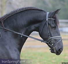 Friesian Mare Grace ISF of Iron Springs Farm
