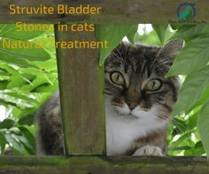 Struvite Bladder Stones in cats Natural Treatment, Struvite stones can be dissolved by feeding the cat with specific diets, commercially, petfoos