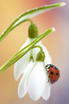 Snowdrop and the lady | by Tomasz Skoczen