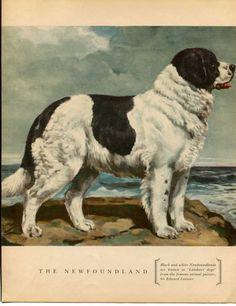 Newfoundland Dog Vintage Illustration Edwin Megargee by RoxyRani