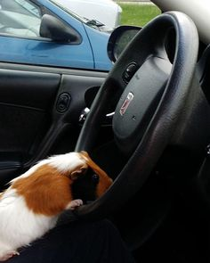 All of the cool seniors are peeling out of the parking lot in their awesome cars…   The First Day Of School, According To Cute Guinea Pigs
