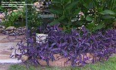 Full size picture of Purple Heart, Purple Queen, Wandering Jew 'Purpurea' (Tradescantia pallida) Tropical Landscaping, Landscaping Plants, Back Gardens, Outdoor Gardens, Roof Gardens, Purple Heart Plant, Purple Hearts, Moses In The Cradle, Wandering Jew