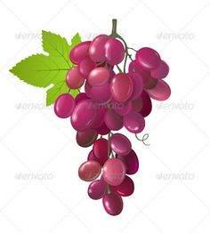 Grapes  #GraphicRiver         Bunch of black grapes. Eps 10 and Ai CS 3 included.     Created: 18May13 GraphicsFilesIncluded: VectorEPS #AIIllustrator Layered: No MinimumAdobeCSVersion: CS3 Tags: agriculture #berry #black #branch #bunch #cluster #crop #design #drawing #eating #food #freshness #fruits #grapes #harvesting #healthy #isolated #juicy #leaf #nature #objects #plants #purple #red #ripe #sweet #vector #vegetarian #vine #vineyard