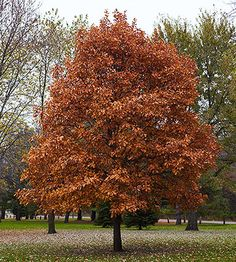 swamp white oak-quercus bicolor