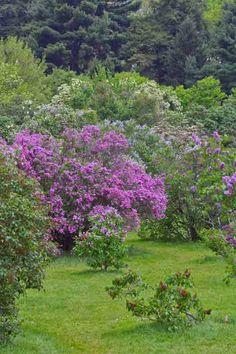 lilac festival rochester ny - Google Search
