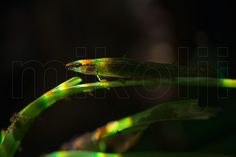 This is a freshwater underwater photograph of a wild Green Dartfish, Ammocryptocharax elegans, struck by an underwater spectrum, in its natural habitat, Amazonas, Venezuela.