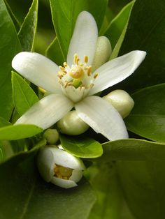 Orange Blossom - my favorite.  It's traditional in a bride's bouquet