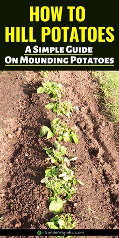 A simple guide on potato hilling. How to mound your potato plant Potato Gardening, Canning 101, Growing Veggies, Outdoor Gardens, Potatoes, Simple, Plants, Potato, Plant