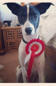 Louise 2 year old female Staffordshire Bull Terrier
