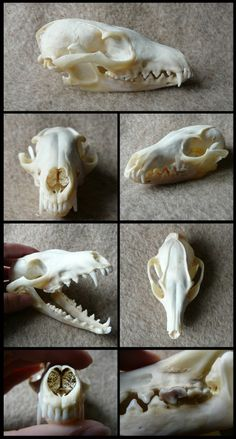Grey Fox Skull by CabinetCuriosities.deviantart.com on @deviantART