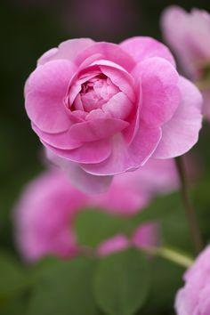 'Gertrude Jekyll' |  Shrub.  English Rose Collection. Bred by David C. H. Austin (United Kingdom, 1986) | Flickr - © NYBG, Photo by Ivo M. Vermeulen