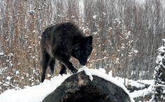 winter wolf desktop | 2013 Kirk Ouimet Design . All rights reserved. Dedicated Hosting by ...