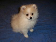 Or should I get a pomerian, they are soooo cute