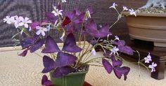 El trébol púrpura es una planta perenne tierna cultivada por sus inusuales hojas triangulares, de tres hojas lobuladas de tallos verdes...