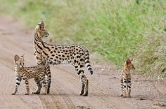 Small Wild Cats, Big Cats, Big Cat Species, Grand Chat, Savannah Kitten, Serval Cats, Exotic Cats, Majestic Animals, Cat Boarding