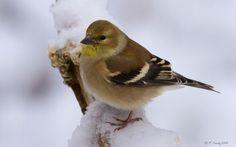 American Goldfinch - winter plumage