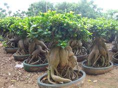 www.hsbonsai.cn Bonsai Art, Bonsai Garden, Cacti And Succulents, Planting Succulents, Ficus Ginseng Bonsai, Indoor Outdoor, Outdoor Decor, Tropical Flowers, Go Green
