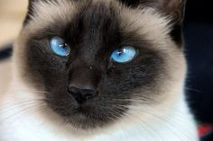 Buy siamese kitten florida| |half siamese and himalayan cats|