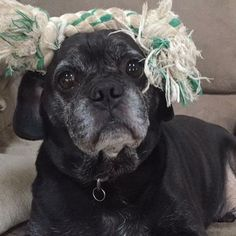 What are you staring at? Is there something on my head?!? Oh man thanks for pointing that out- my name is Bruiser and as you can see I'm a fun loving 8 year old pug/beagle mix! I love dogs kids ignore cats and I am house and crate trained. What more could you possibly looking for? Nothing! So apply to adopt me at http://ift.tt/1vS2A9I today!  #rescuedisthebestbreed #rescuedogsofig #rescuedog #rescuedogsofinstagram #rescuedogsrock #adopt #adoptme #adoptdontshop #adoptdontbuy #adoptdontbreed…