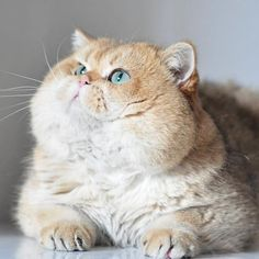 Chonker cats are fat cats and because they are chonky cats then that makes them funny cats. Whenever I see a fat cat I cat laugh because my cat love is super big just like they are. Fat cats make the perfect funny cat photos. Baby Animals, Funny Animals, Cute Animals, Funny Horses, Animals Images, Animal Pictures, Kittens Cutest, Cats And Kittens, Funny Kittens