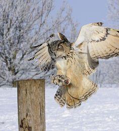 European Eagle Owl Landing in snow, Woodhurst, England