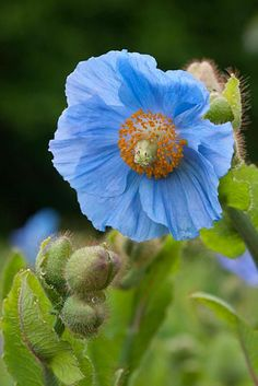 Meconopsis betonicifolia syn bailey - Himalayan Blue Poppy - © Tommy Tonsbery/GAP Photos