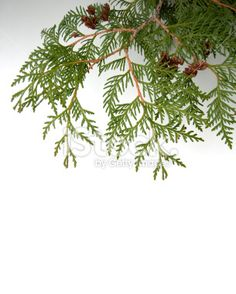 Cedar Boughs Isolated on White Royalty Free Stock Photo