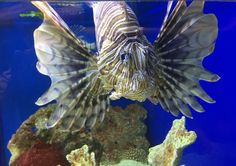 Radiata Lionfish - Photo by CS Lent