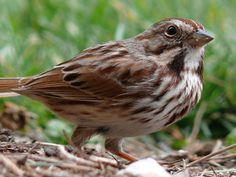 Song Sparrow My daughter can id these by ear now!
