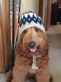 Puppy Day, Puppy Love, Airedale Terrier, Welsh Terrier, Golden Doodle Dog, Labradoodle, Goldendoodles, Dog Best Friend, Cutest Dog Ever
