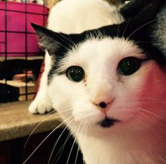 Presenting Danny Buoy! Danny Buoy is a domestic shorthair kitty and is 5 years old. Danny Buoy is a new arrival from LAWS and already has had his shots and vaccinations. Danny Buoy is currently staying at Natural Pet Foods in Carleton Place but is looking for a loving home.