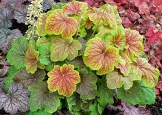 Heuchera 'Delta Dawn', another hybrid cross between two Southeastern native species, H. villosa and H. americana.