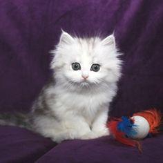 Image result for ragamuffin cat