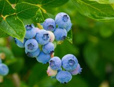 Picking Berries for a Summer Spark