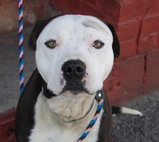 TO BE DESTROYED - 03/08/14 Brooklyn Center -P  My name is ZOE. My Animal ID # is A0992715. I am a male black and white pit bull mix. The shelter thinks I am about 1 YEAR 1 MONTH old.  I came in the shelter as a STRAY on 02/27/2014 from NY 11429, owner surrender reason stated was ABANDON.  https://www.facebook.com/photo.php?fbid=765837646762450&set=a.611290788883804.1073741851.152876678058553&type=3&theater