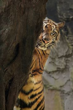 The Hidden Tiger by Syahrul Ramadan on 500px
