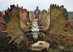We have some incredible moose hunts! Fully guided as well as unguided, drop camps and DIY moose hunts. http://gothunts.com/hunting/moose-hunting/