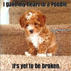 I GAVE MY HEART TO A POODLE ITS YET TO BE BROKEN.  Except when they cross over the Rainbow Bridge.