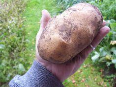 Как вырастить крупный картофель? В конце марта картофель занести в тепло и прозеленить. Потом разложить в невысокие поддоны. На дно поддона расстилается полиэтилен, сверху картон, поверх картона - гр…