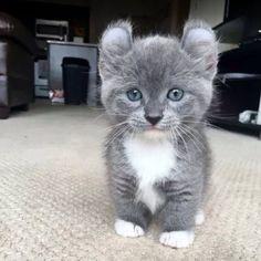 Munschkin kitten  #munschkin #cat