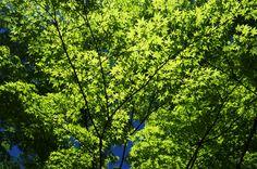 Sketch On Kyoto: Fresh Maple Leaves Tenryū-ji Temple, Ukyō-ku, Kyōto Fujifilm Finepix X100 天龍寺(京都市右京区嵯峨天龍寺芒ノ馬場町)