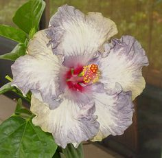 hibiscus pictures | WHITE DIAMONDS - Extremely rare blue with white splotches and splashes ...