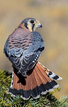 American Kestrel or Sparrow hawk (Falco sparverius). Asmall falcon of the Americas. photo: Jim Frazee.