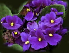 African Violets    Enhance your brain power with African Violets. Gazing at flowering plants in the purple family, like African violets, stimulates the release of adrenaline. This energizing hormone improves creativity. Purple also triggers the release of endorphins, which ease stress and improve mood.