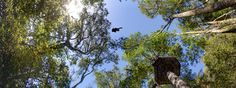 Tsitsikamma - Cape Canopy Tour through the treetops in South Africa.