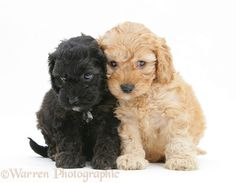 Dogs: Black and Golden Cockapoo pups, 6 weeks old photo........Kendra got the black one and she is six weeks old... just a little thing! :)