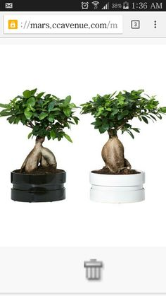 Buy this bonsai and get it home delivered within delhi in 7 working days http://www.buyit.cc/4699