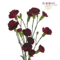 Wholesale Mini Carnations Burgundy - Blooms by the Box