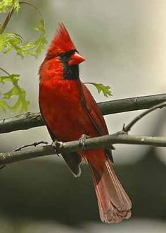 West Virginia State Bird - Northern Cardinal